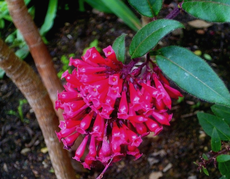 Abelia grandiflora, Bourton, 617