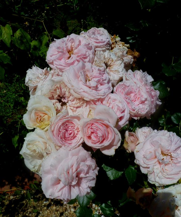 Antin Rosa Gardina 617