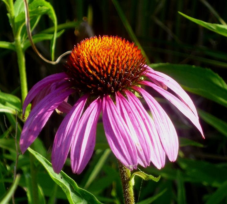 Echinacea purpurea 717