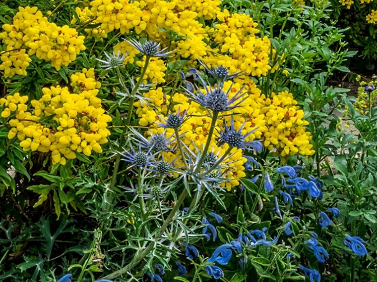 Hidcote Blue and yellow CM