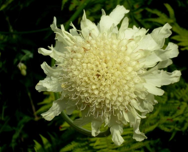 Kiftsgate Cephalaria gigantea 617