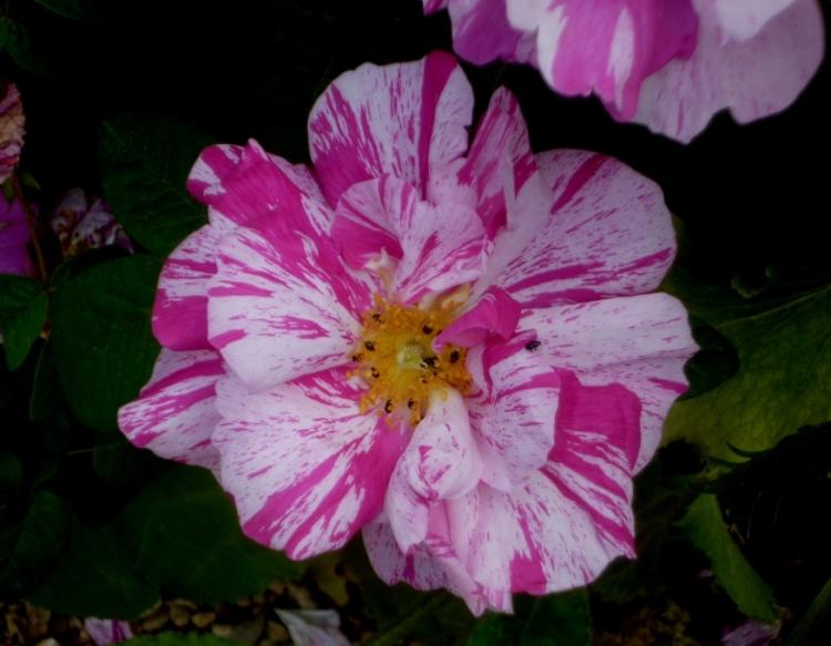 Kiftsgate Rosa Mundi 617