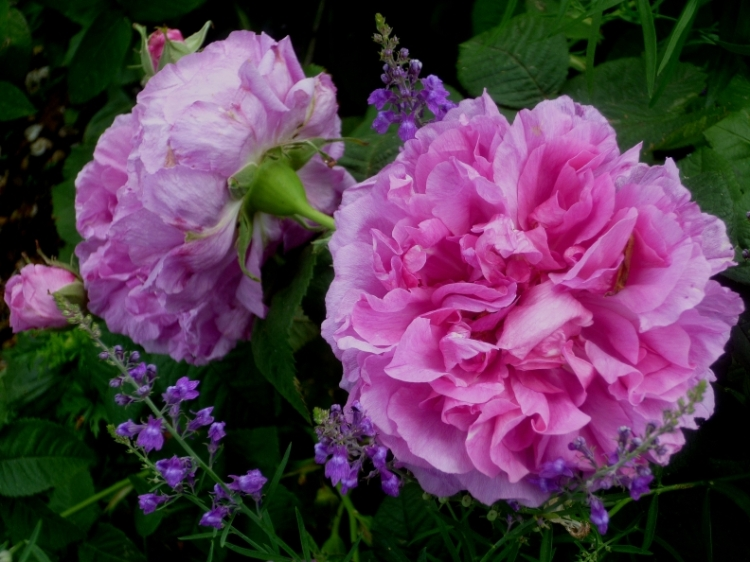 Kiftsgate rose 617