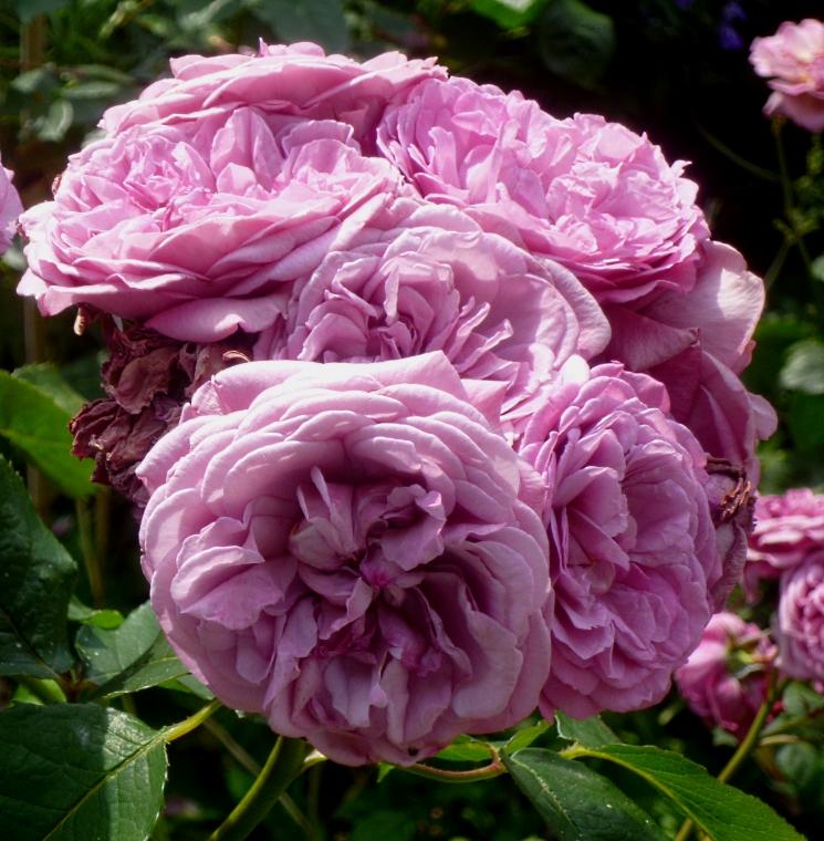 Kiftsgate unknown rose 617