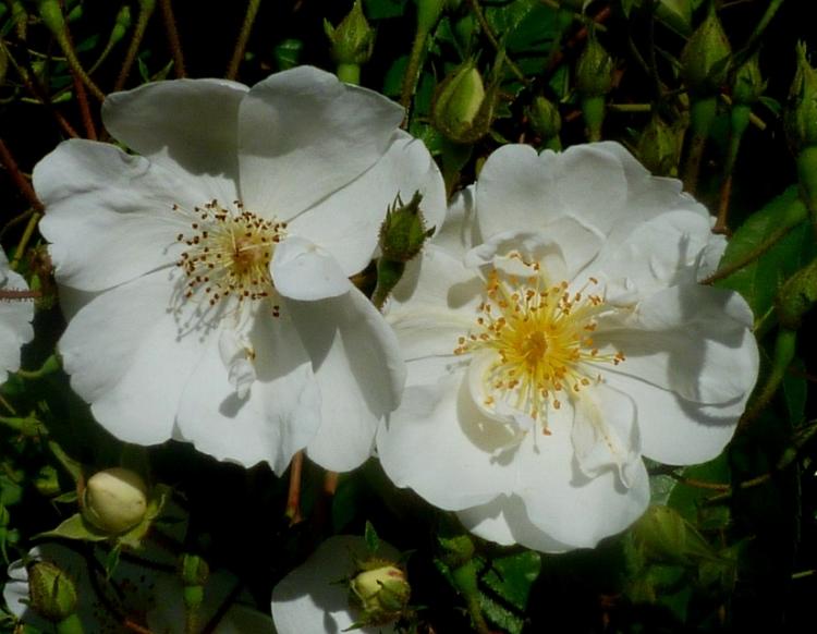 Rosa Kiftsgate 517