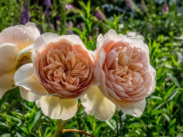 Rose Hidcote CM