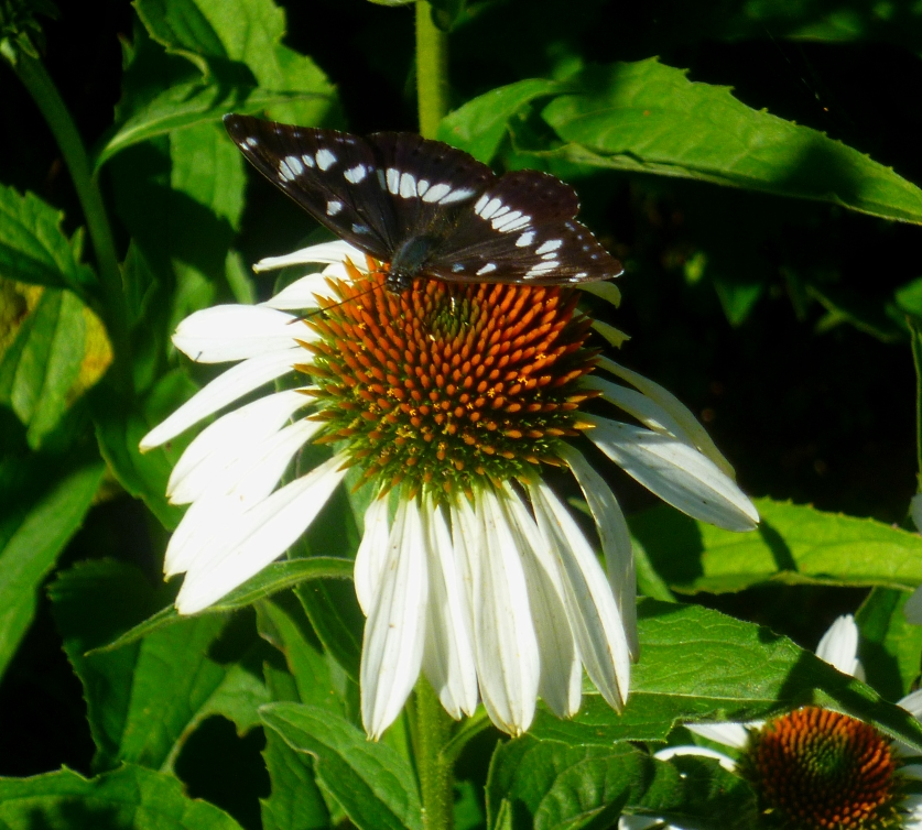 Southern White Admiral 717
