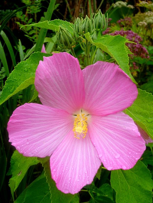 Hibiscus palustris 4 817