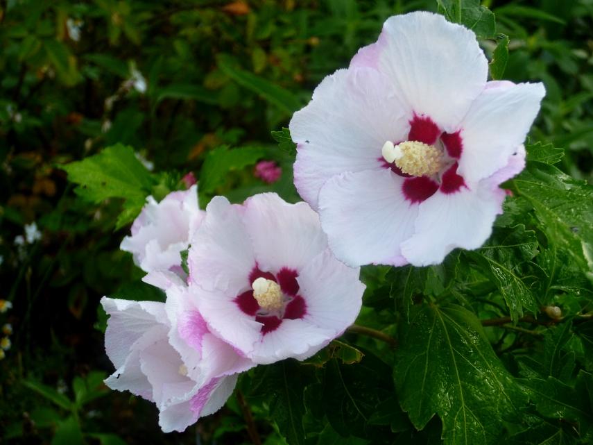 Hibiscus trionum 817