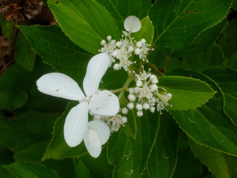 Hydrangea paniculata Vasterival 817