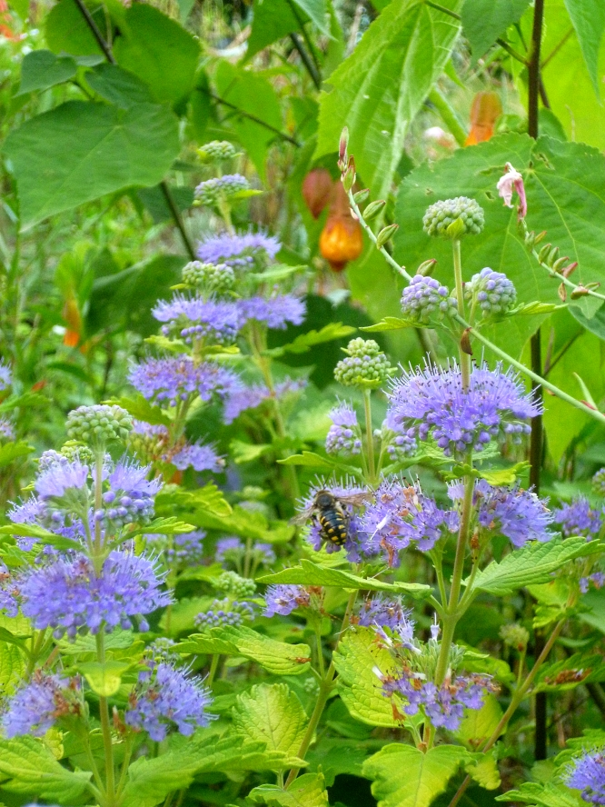 Caryopteris x clandonensis Hint of Gold 917