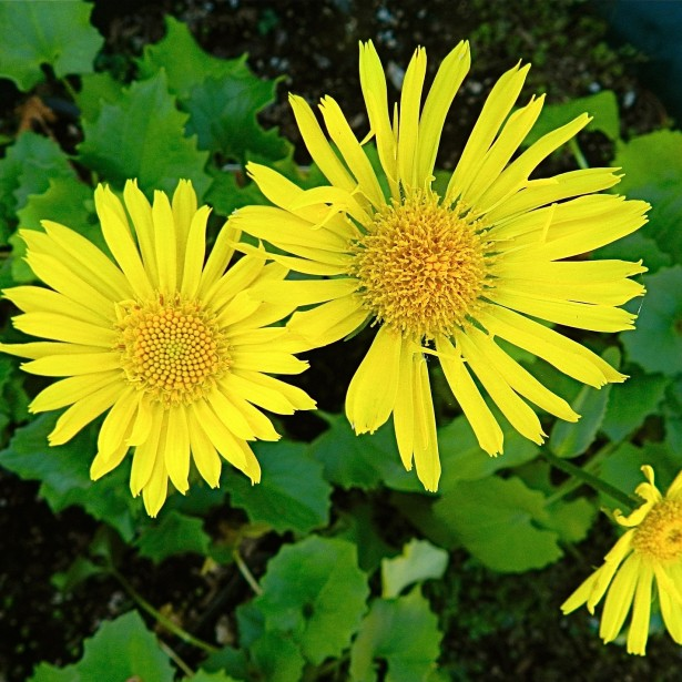 Doronicum-orientale-Little-Leo-80213-1