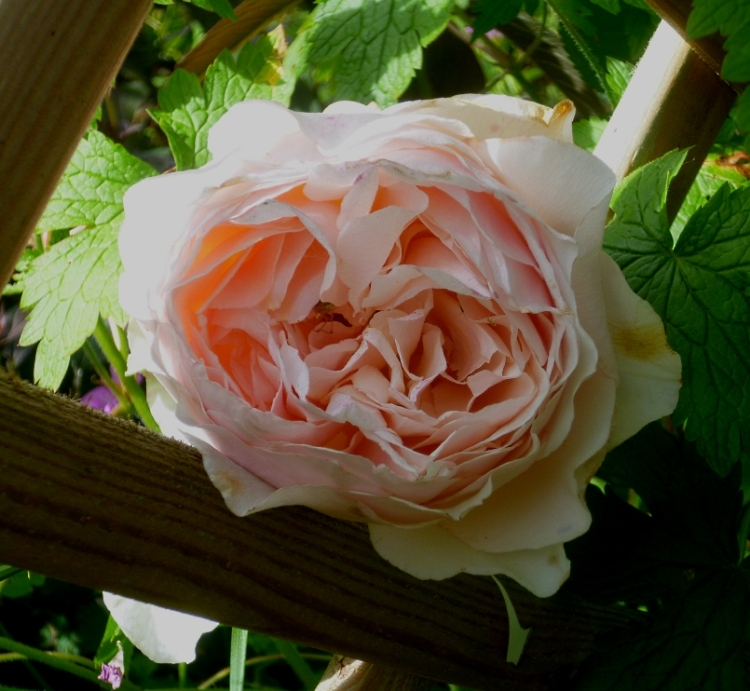 Jane Rose Ginger Syllabub 617