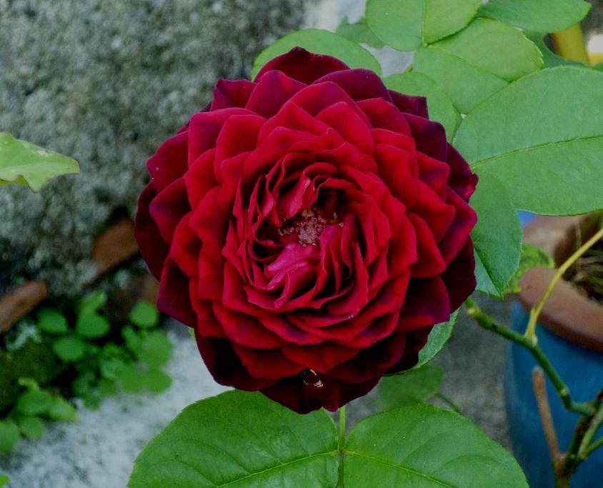 Rosa Astrid Gräfin von Hardenberg – jardinecofriendly