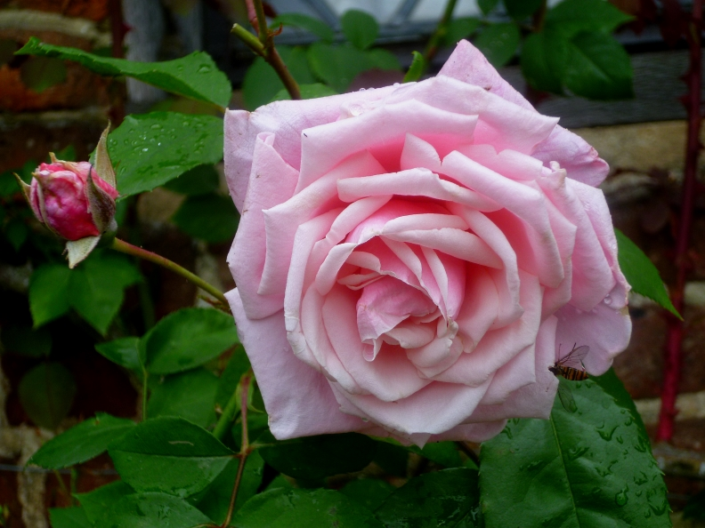 Siss Rosa Blossomtime 617