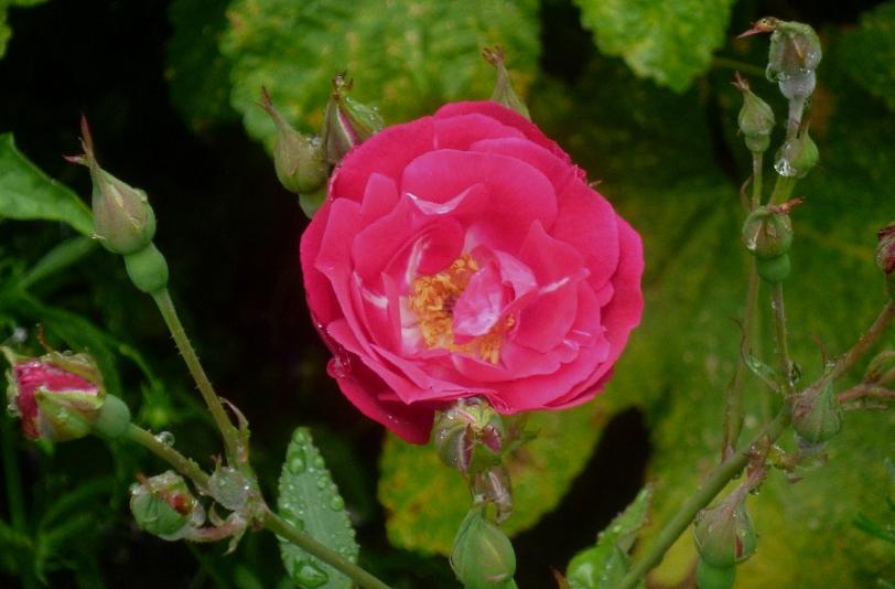 Siss Rosa Cramoisi Superieur 617