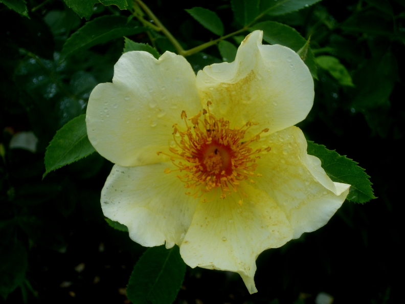 Siss Rosa Golden Wings 617