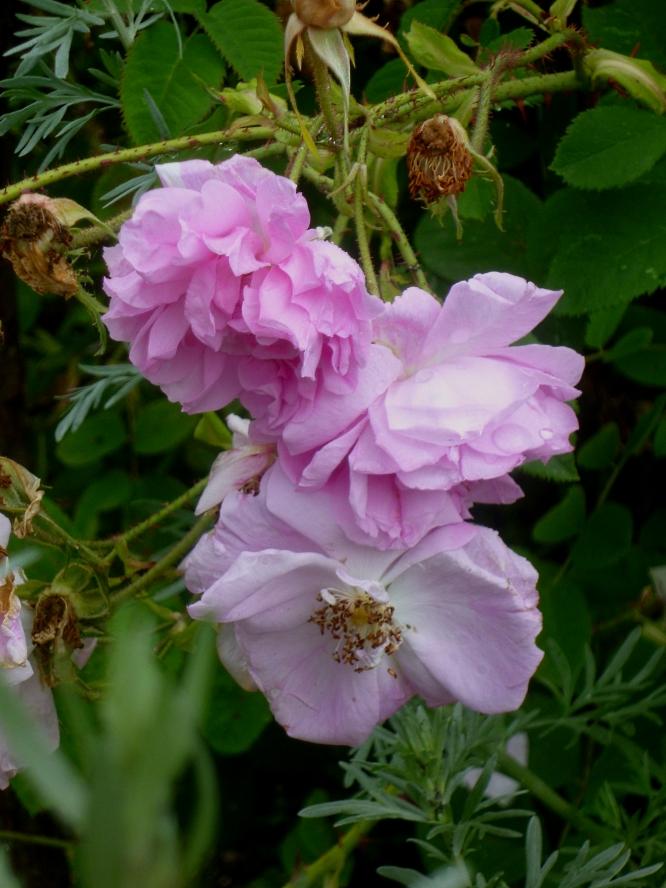 Siss Rosa Trigintipetala 617