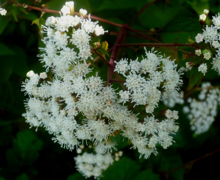 Eupatorium chocolate 1017