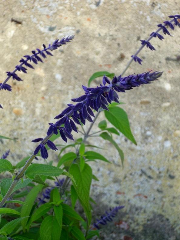 Salvia AP 2 1017