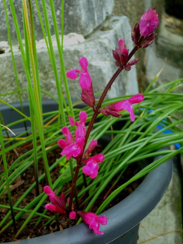 Salvia involuctra Mulberrry Jam2 917