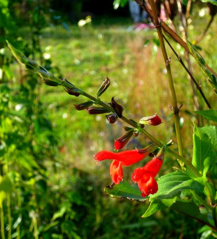 Salvia miniata 1017