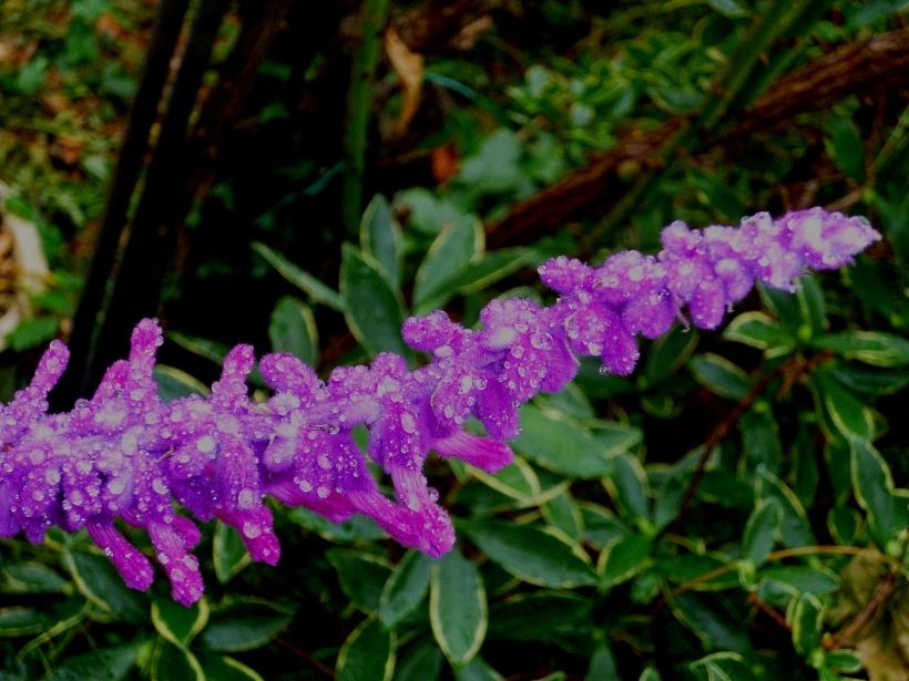 Salvia Purple Velvet