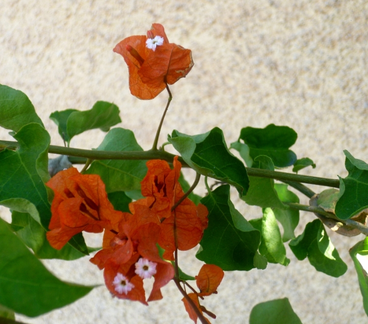 Alicante orange bougainvillea 1017
