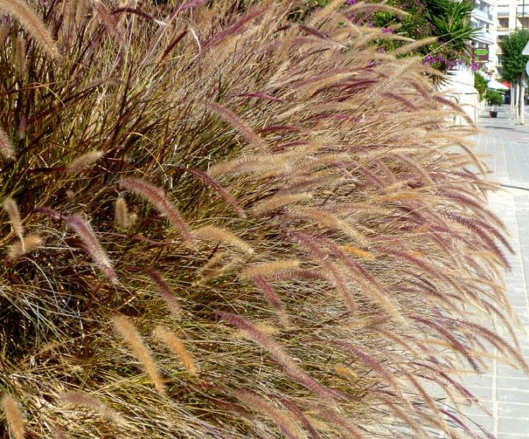 Alicante Pennisetum rubrum 1017