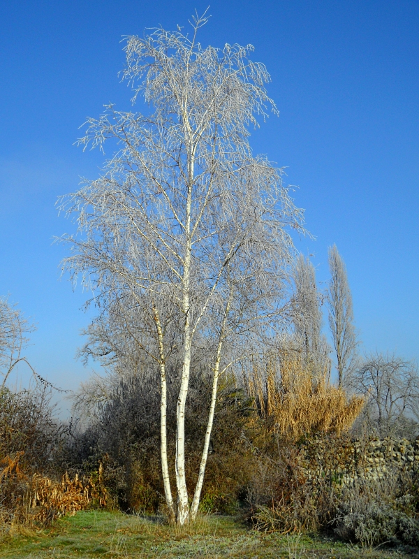 Birch winter 1117