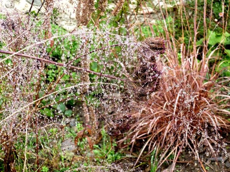 Muehlenbergia capillaris rain 1117