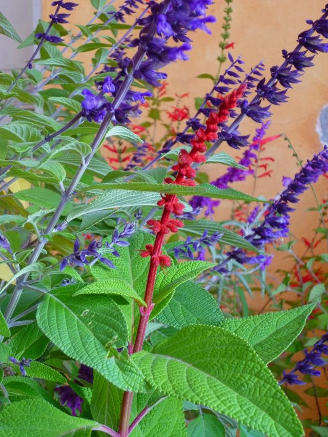 Salvia confertiflora 1117
