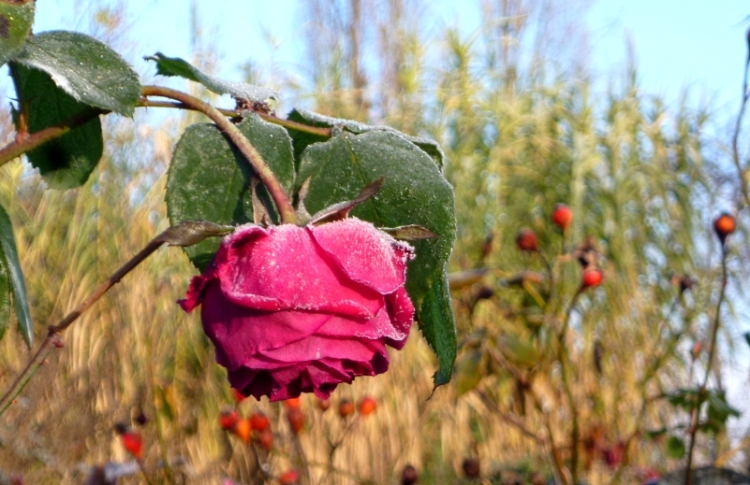 December rose 17