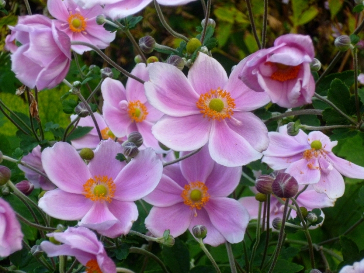 Anemone hupehensis var. japonica 917