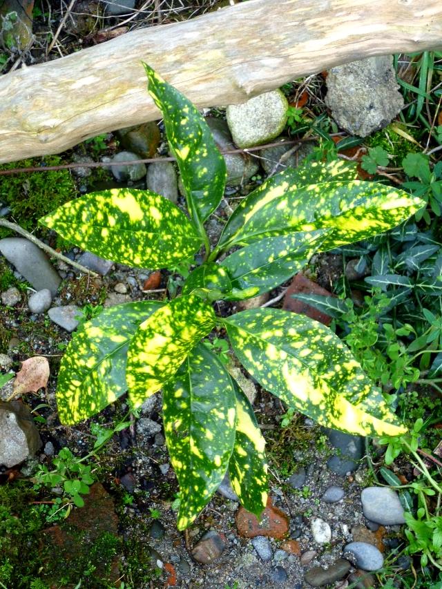 Aucuba japonica Crotonifolia 0118
