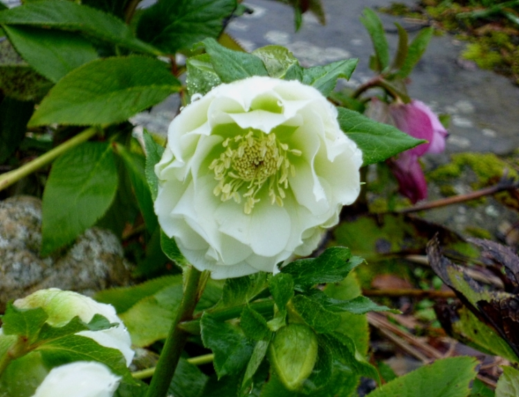 Double white hellebore 0118