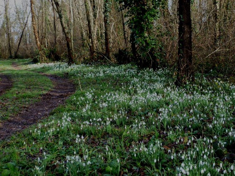 Jan18 Snowdrops en masse