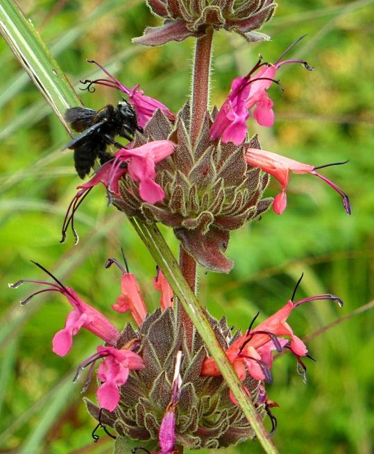 Salvia spathacea and bee 716