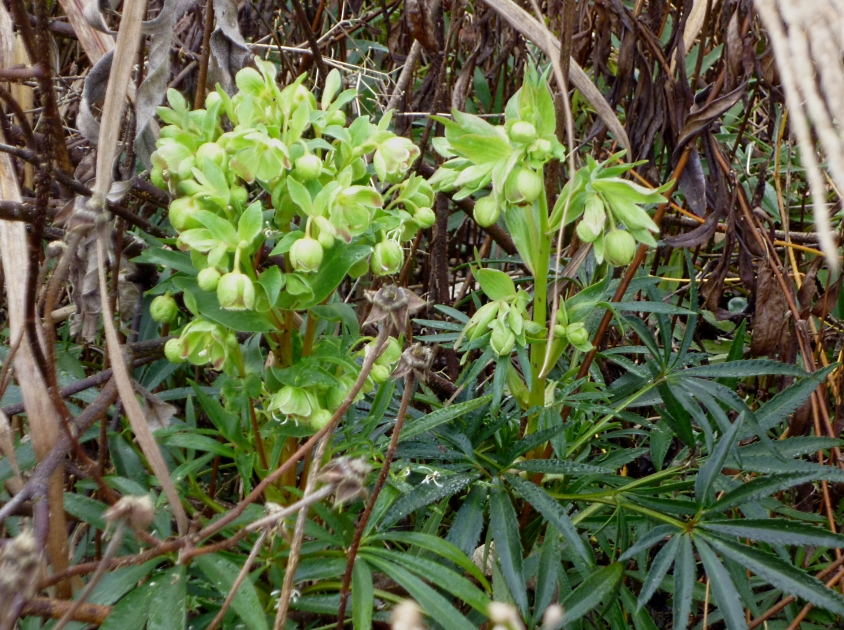 Helleborus foetidissima 0118