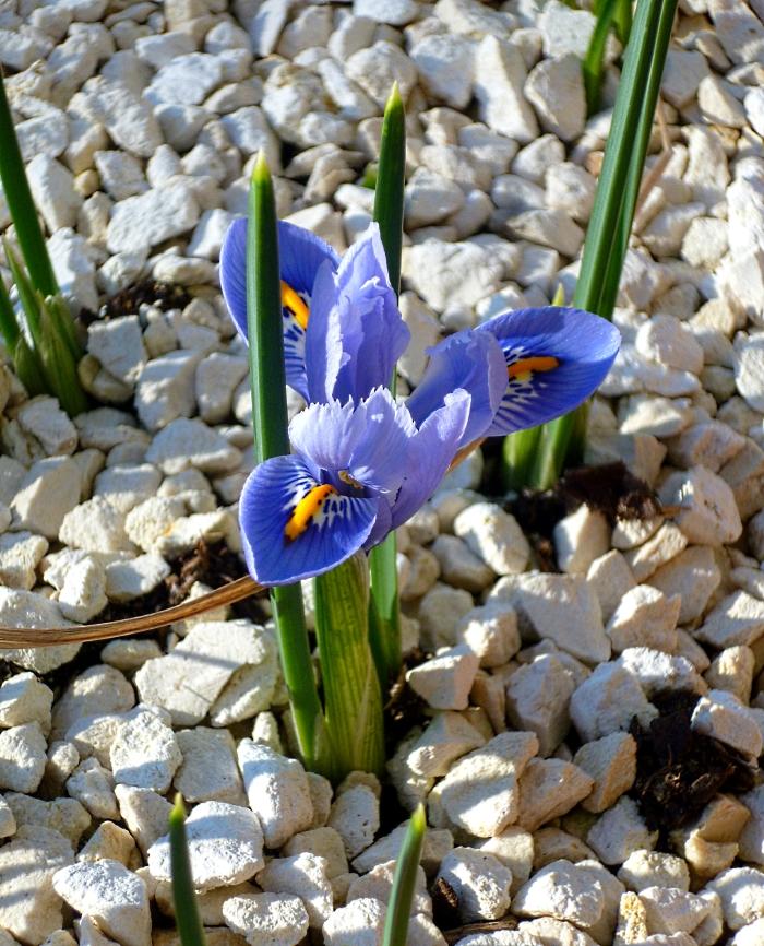 Iris unguicularis Mary Barnard 0318