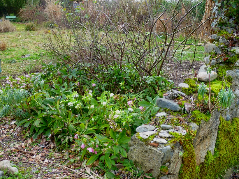 Moss and Hellebores 0118