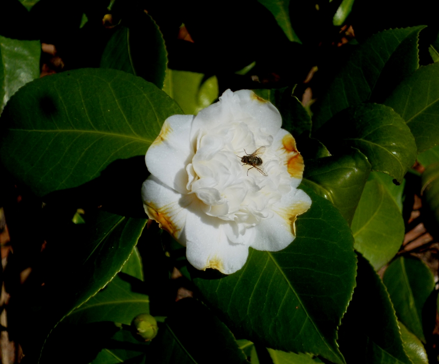 Camellia japonica Perfection White madbot 0218