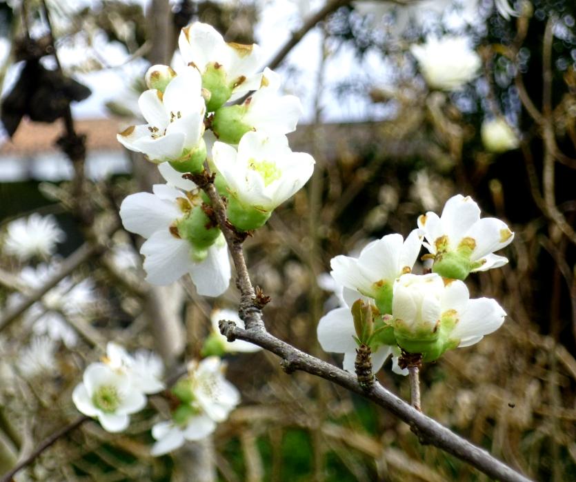 Chaenomeles japonica 0318