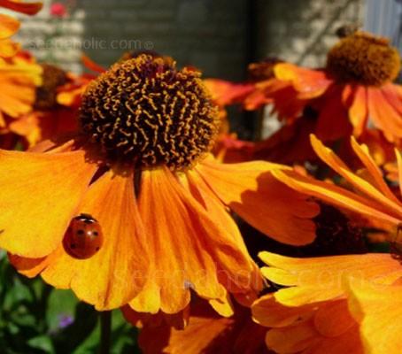 helenium-ladybird1_2