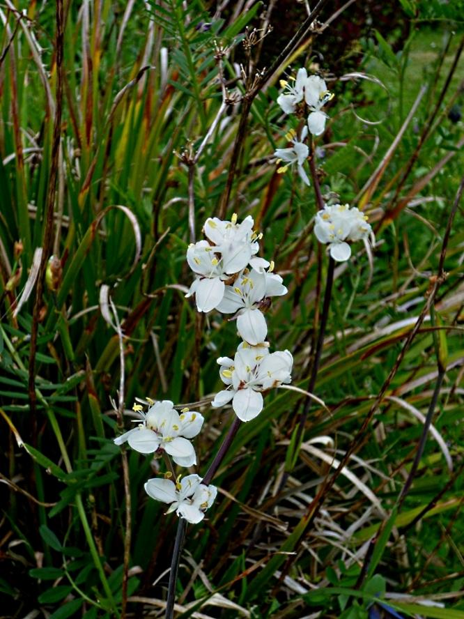 Libertia grandiflora 3 517