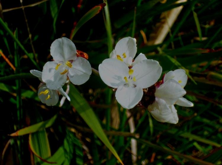 Libertia grandiflora 4 517