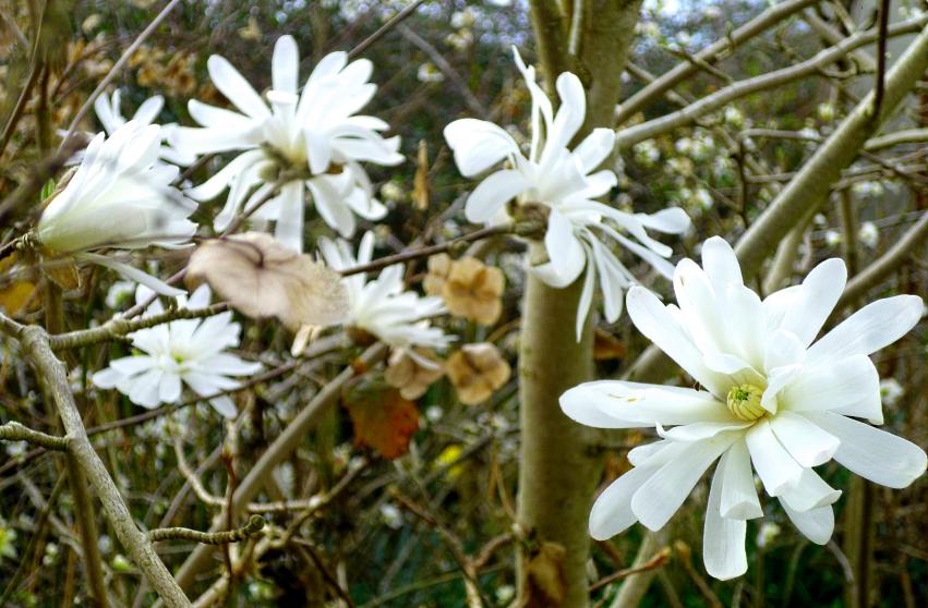 Magnolia stellata 2 0318
