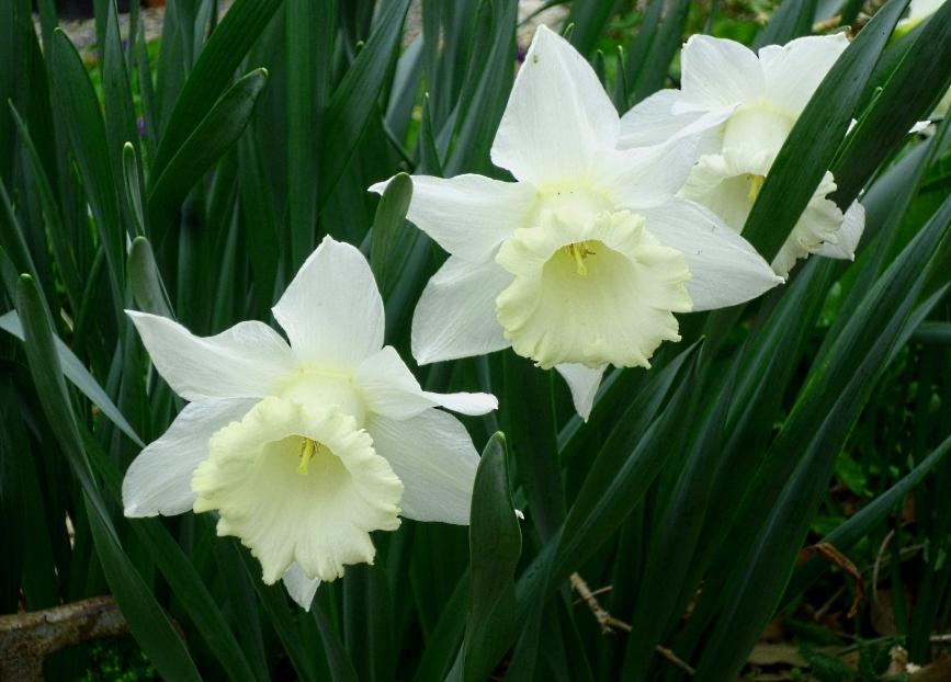 Narcissus Finland 0318