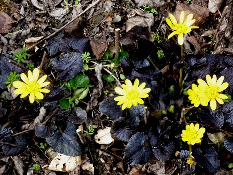 Ranunculus BH 0318