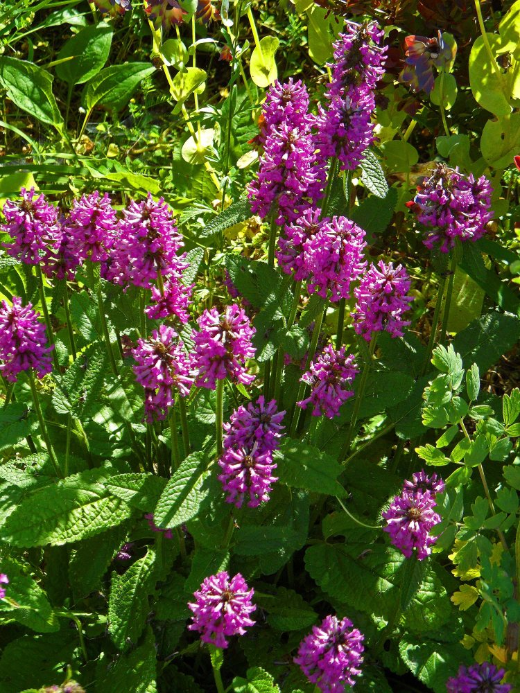 Stachys officinalis Hummelo 615